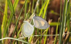 Barred Yellow, (Eurema daira), Pennekamp State Park, Key Largo, Florida (kmalone98) Tags: abstract butterflies whitesandsulphurs flickrpending barredyellow
