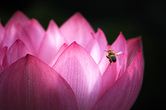 It's a small world (mt.moco) Tags: flower macro lotus sigma bee merrill foveon 180mm sd1