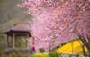 櫻 (Chia Hsien) Tags: 臺灣 台湾 台灣 武陵農場 櫻 櫻花 花 散景 taiwan canon flowers asia cherryblossoms cherry outdoor 戶外 春天 spring warm