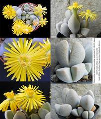 Dinteranthus microspermus subsp. puberulus (collage)