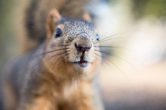 Beware Hoonigan Harvey, he'll sneak out with your car and then return it with the tires all chewed up. (HellaDamnSquirrels) Tags: squirrels rodent oakland lake merritt hella damn helladamnsquirrels squirrel