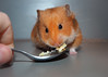 Monty (.annajane) Tags: hamster monty pet cute syrianhamster orange golden mesocricetusauratus animal