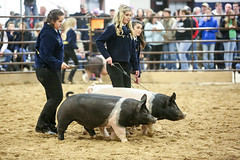 Jordan Shows Her Hog (wyojones) Tags: texas tomball ffa futurefarmersofamerica highschool livestockshow pig pens hog swine showmanship animal student morgan girl woman youngwoman beautiful beauty blonde curls smile jacket lovely cute pretty jordan livestock wyojones