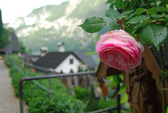 Hallstatt Rose