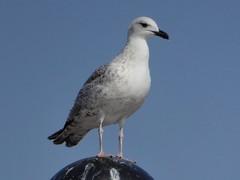 Larus cachinnans ( Pallas, 1811 ) - Caspian gull, Yellow-legged Gull (juv. 2nd winter) (Peter M Greenwood) Tags: laruscachinnans caspiangull yellowleggedgull larus cachinnans