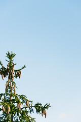 Pines (lorenzoviolone) Tags: d5200 dslr fuji400h nikon nikond5200 reflex vsco vscofilm clearsky growth pineseeds pinetree pines plant roadtrip:tuscany=jan2017 sky streetphoto streetphotocolor streetphotography rispescia toscana italy