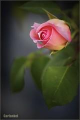 Rosa. (Color) (GARFANKEL) Tags: