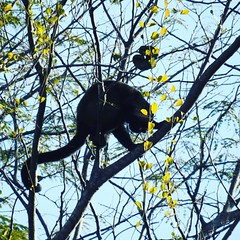 #howler #monkey #rainforest #costarica #puravida