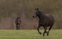 Galloping (Alan-Taylor) Tags: horse gallop