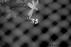Gefangene (BW) (TJ.Photography) Tags: white plant flower leaves rose fence botanical leaf petals stem bars soft branch artistic sweet romance petal passion bloom romantic captive gentle imprison greem imprisoned captivated