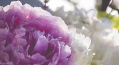 Fading (Nateolius) Tags: pink flowers summer white canon eos estate rosa fiori bianco matte 500d peonie