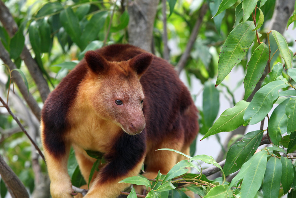 Goodfellows Tree Kangaroo by David Lochlin, on Flickr