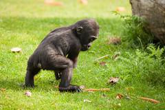 2014-06-28-09h20m35.272P7650 (A.J. Haverkamp) Tags: germany zoo gorilla muenster mnster munster dierentuin demba westelijkelaaglandgorilla httpwwwallwetterzoode pobmnstergermany canonef500mmf4lisiiusmlens dob13012013