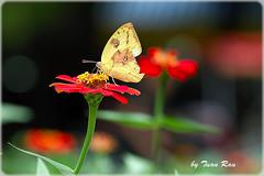IMG_4709_Butterfly (Tuan Ru) Tags: closeup canon butterfly 50mm mark 100mm hanoi tuan 135mm 70200mm macrophotography 2470mm markiii 14mm canon1d bm canoneos1dmarkiii hhonkim honkimlake honkim 1dmarkiii ru tuanrau