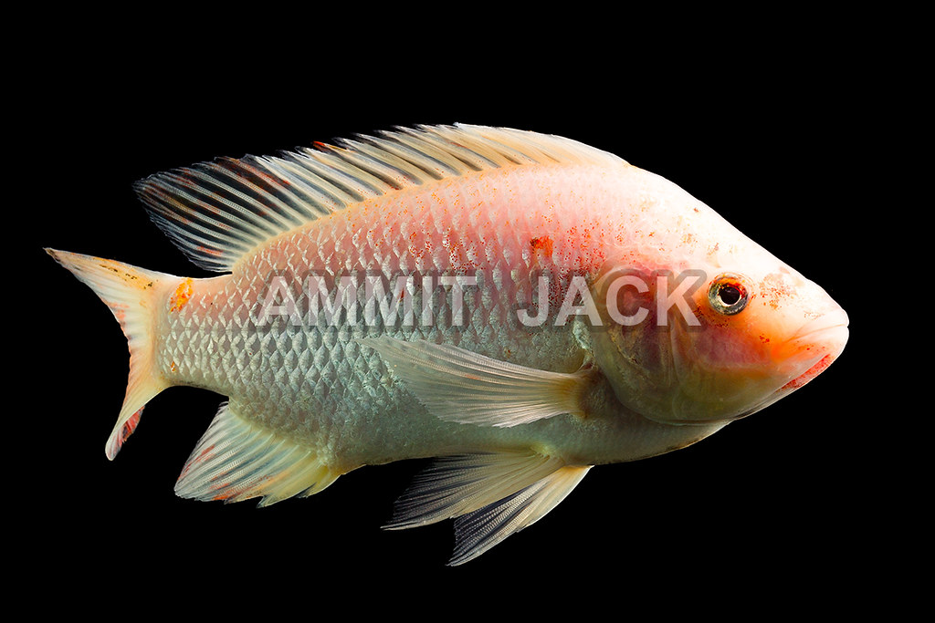The World 39 S Best Photos Of Cichlid And Tilapia Flickr