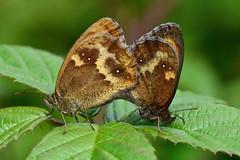 Gatekeeper butterflies (Pyronia tithonus) in cop (Ian Redding) Tags: uk fauna butterfly insect wildlife moth british invertebrate