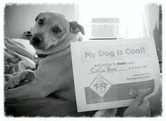 Cool Dog CoCo Bug (My Dog is Cool) Tags: dog dogsincars hotcars cooldogs funnydogs mydogiscool cooldoggallery