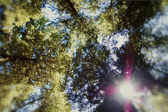 upward (carolinemphotography) Tags: california trees sky color green nature beauty leaves wideangle lensflare redwoods