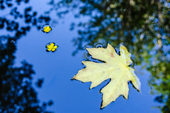 Floating Flowers and Leaf (Brian Xavier) Tags: blue colors reflections photography hiking bluesky pacificnorthwest puddles yellowflowers yellowleaf beautifulsky floatingflowers photographicarts bxavier bxphoto brianxavierphotography brianxavier bxfoto bxfotocom floatingleafandflowers