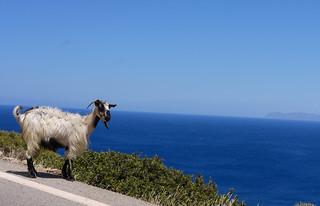 Goats Spotting