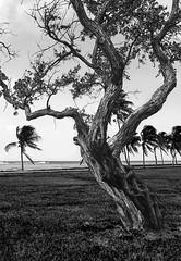 Texturas (Rebecaz) Tags: mar florida playa viento grama keywest tronco palmera vacaciones cayos cespe