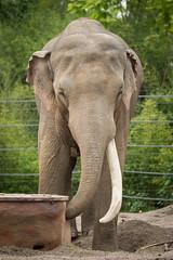 2014-06-28-10h36m48.BL7R3067 (A.J. Haverkamp) Tags: germany zoo alexander muenster mnster munster dierentuin asiaticelephant aziatischeolifant canonef100400mmf4556lisusmlens httpwwwallwetterzoode