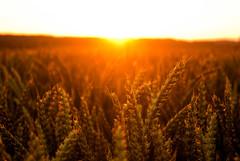 Blés d'été (CyrilleMarkII) Tags: sunset ete ble