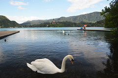 Lake Bled - 2 (zumpano.4) Tags: lake alps swan wildlife slovenia bled