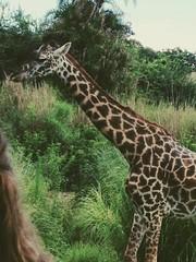 208/365 (Melody K Photography) Tags: africa animal animals kingdom disney safari giraffe