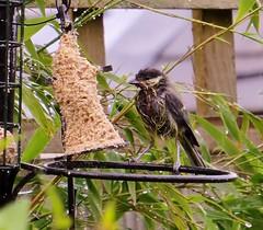 Wet Wet Wet (Darling Starlings Flying the Nest) Tags: bird wet rain garden table tit feeding tell hard july feeder thunder drenched 2014 sodden blueorgreat
