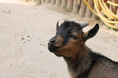 Baby Goat (drisbem) Tags: pet baby cute love nature animal animals canon photography eos zoo photo babies photos sweet farm horns goat goats canoneos1100d