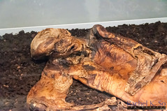 Lindow Man, British Museum, London (InSapphoWeTrust) Tags: uk greatbritain england london europe unitedkingdom mummy britishmuseum prehistoric lindowman unitedkingdomofgreatbritainandnorthernireland