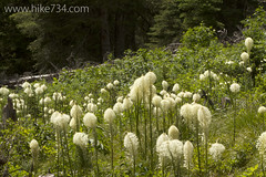 "Beargrass • <a style=""font-size:0.8em;"" href=""http://www.flickr.com/photos/63501323@N07/14617062966/"" target=""_blank"">View on Flickr</a>"