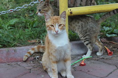 cat (SaRDeS70) Tags: cat kedi