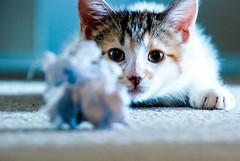 bk hunter (go home jen, you're drunk) Tags: animal cat nikon kitten kitlens calico bk zoomlens beatrixkiddo d80 paperball nikond80