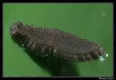 Culex pipiens egg mass (cquintin) Tags: eggs culicidae arthropoda oeufs diptera pipiens culex