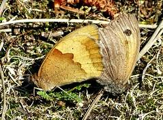 Meadow Brown mating pair (ericy202) Tags: brown pair norfolk meadow mating noa holme maniola jurtina