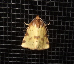 Obtuse Yellow (Stylurus) Tags: yellow michigan moth prairie oaks township obtuse lodi obtusa 9725 bugguide azenia