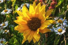 Sommerblumen (derhalbling) Tags: summer flower macro insect sommer blumen sunflower makro insekt sonnenblume blten margeriten derhalbling