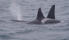 Two Orca Whales (AssyntNature) Tags: whale