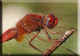 Crocothemis erythraea macho, Common Scarlet-darter male