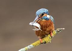Common Kingfisher with fish (naturalengland) Tags: bird kingfisher