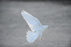 Duiven - Pigeon Flying (17) (Hans V.B) Tags: sky white pigeon belgi wit gent vogel duif tortelduif