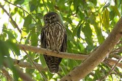 Barking Owl (CampaspeBirdo) Tags: nt jabiru australianbirds 375 barkingowl kakadunp ninoxconnivens