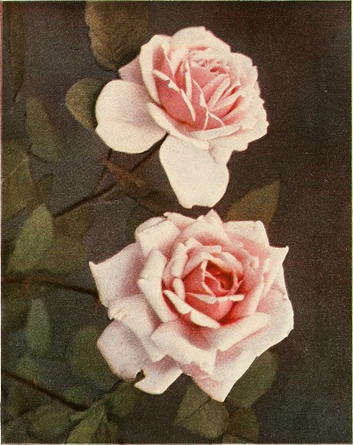 """Image from page 86 of """"The practical book of outdoor rose growing for the home garden"""" (1915)"""