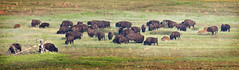 Ya Can't Roller Skate in a Buffalo Herd 8-2-14 (Larry Smith2010) Tags: oklahoma buffalo wichitamountains bison wichitamountainswildliferefuge larrysmith