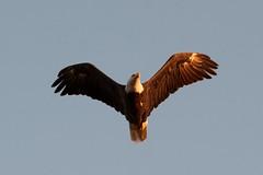 Beacon Shores Trip Aug 2014 - Bald Eagle! (pmarkham) Tags: usa baldeagle crosslake mn whitefishlake beaconshoresresort