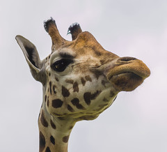 Wassup? (Malink_78) Tags: africa uk portrait brown cute eye tourism nature beautiful face animal animals closeup standing mouth neck fun mammal nose happy zoo one big high funny long pattern head background wildlife safari spots nostril ear tall giraffe horn wiltshire longleat herbivore girafe horned selfie