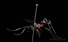 Pinned: Black and white-striped ichneumon wasp (Jbdorey) Tags: white black macro nature insect james focus wasp australian stack ichneumon striped hymenoptera dorey ichneumonidae parasitoid gotrasp jbdorey