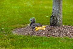 Some Bananas (niXerKG) Tags: nikon squirrels nikkor dslr fx d3 70200mm tc14e 70200mmvr 12mp nikond3